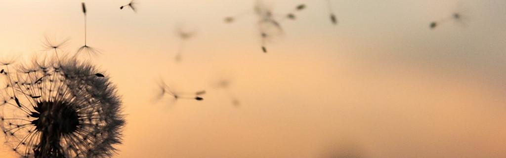 Detailaufnahme einer Pusteblume, deren Flugschirme vom Wind davongetragen werden
